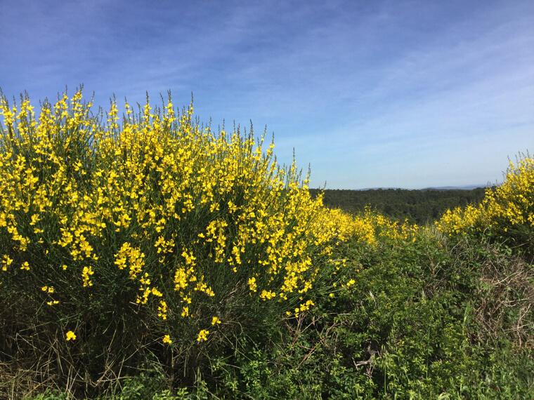 フランスの春は黄色の輝き